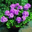 Eddy-Endah Store   Geranium Fully Purple Double Petals Ball Typed Flowers 10 Seeds Hybrid Dense Bons