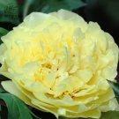 Eddy-Endah Store   Heirloom Peony Yellow Series 4 Types Flowers, 5 Seeds Big Blooms Double Flowers L