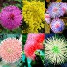 Eddy-Endah Store   100pcs 6 Colors Yellow Pink Red Mimosa Pudica Bonsai Seeds Flowers Sensitive Plan