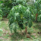 Eddy-Endah Store Bonsai Fruit Dwarf Papaya Seeds, Miniature Pawpaw, 50pcs
