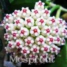 Eddy-Endah Store Flower Bonsai Hoya Kerrii Bonsai (December Orchid) Family Bonsai Garden Supplies 10