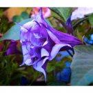 Eddy-Endah Store   Datura Plants Herbs Flower Seeds Mixed 9 Colors Datura Trumpet Flowers, 30 Seeds/