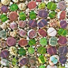 Eddy-Endah Store Mixed Many Types of Lithop Seeds Living Stones Rich Colorful Varieties from South A