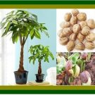 Eddy-Endah Store money tree pachira aquatica malabar chestnut 2 Seeds