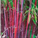 Eddy-Endah Store Moso red Bamboo Seeds 100+