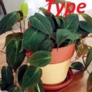 Eddy-Endah Store 100 philodendron Seeds T2