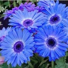 Eddy-Endah Store 100Pcs/Pack Gerbera Daisy Seeds Majorette Blue Halo Fragrant Bellis Flower Seeds