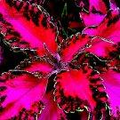 Eddy-Endah Store   Rare Coleus Bonsai Foliage Plants seeds 30pcs Perfect Colorful Coleus Blumei Beau