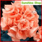 Eddy-Endah Store 10PCS Geranium Orangish Red Ball-typed Big Blooms Bonsai Flowers, Heirloom Garden F