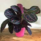 Eddy-Endah Store 50PCS Rare Calathea Seeds Air Freshening Plants Beautiful Flowers Seeds Office Desk