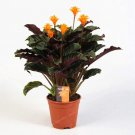 Eddy-Endah Store 50PCS Rare Calathea Seeds Air Freshening Plants Beautiful Flowers Seeds Office Desk