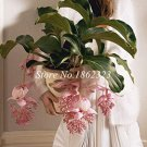 Eddy-Endah Store Medinilla Magnifica Plant Very Beautiful Bonsai Flower Plant for Home Garden Decora