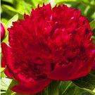 Eddy-Endah Store 10pcs Rare Peony Plants,Top Brass Peony, 21 Colors to Choose Bonsai Flower Garden,