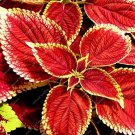 Eddy-Endah Store 100 PCS Chinese Rare Original Natural Organic Red Coleus Bonsai Beautiful Blumei Pl