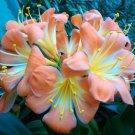 Eddy-Endah Store 1PCS Medium Flower Real Bowl clivia pots Bonsai Garden Blooming Plants Happy Farm H