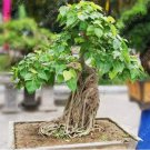 Eddy-Endah Store 10 pcs Imported Bodhi Tree Religiosa Potted Garden Moraceae Perennial Outdoor Sacre