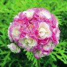 Eddy-Endah Store Rare Geranium Bonsai Apple Blossom Rosebud Pelargonium Hortorum Perennial Flower Ha