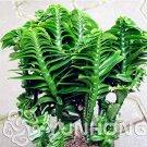 Eddy-Endah Store Rare Centipede Coral Bonsai Garden & Home Bonsai Plant. Indoor Plant 10PCS Bonsai E