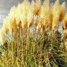 Eddy-Endah Store 300 Pcs Colorful Pampas Grass Cortaderia Bonsai, Very Beautiful Garden Flower Plant