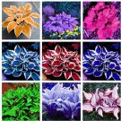 Eddy-Endah Store Promotion! 150 Pcs Beautiful Hosta Bonsai, Perennials Lily Flower Shade Hosta Flowe