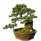 Eddy-Endah Store Black Pine Tree Bonsai Potted Landscape Japanese Five Needle Pine Bonsai Miniascape