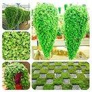 Eddy-Endah Store Dichondra Bonsai Emerald Falls Multi Leafed Grass Bonsai Green Perennial Plant Dich