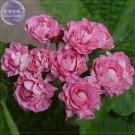 Eddy-Endah Store   Geranium 10PCS Seeds 'apple bloom rosebud' Pink Color big blooms home garden bons