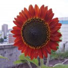 Eddy-Endah Store Sunset Rust Red Sunflowers F1 Seeds 30PCS