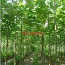 Eddy-Endah Store 500seeds/pack fast growing tree Paulownia seeds