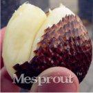 Eddy-Endah Store 20 Seeds Salak Seed World Snakeskin Fruit Seeds Like Ginseng Fruit Very Delicious