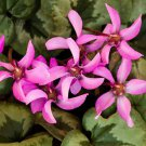 Eddy-Endah Store   10PCS Cyclamen Perennial Hardy Flowers Seeds Red Purple Pink White Green Colorful