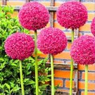 Eddy-Endah Store 100pcs/bag Allium giganteum Allium Flower Plants Beautiful Flower Plantas Balcony P