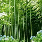 Eddy-Endah Store 40pcs MOSO Bamboo Huge Mao Bamboo Bonsai- bonsais - Phyllostachys pubescens/edulis