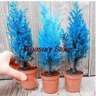 Eddy-Endah Store 50 Pcs Italian Blue Cypress Tree Indoor Outdoor Desk Ornamental Plants, Rare Christ