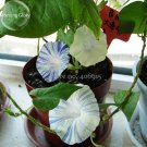Eddy-Endah Store Phoebe Pharbitis Morning Glory Climbing Flowers, 20 seeds, white flowers with blue