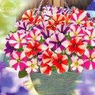 Eddy-Endah Store Petunia Compacta Nana F2 Petunia Star Dwarf Mixed Seeds, Professional Pack, 200 See