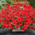 Eddy-Endah Store   Dark Red Velour Petunia Seeds, Professional Pack, 200 Seeds / Pack, Cold Hardy He