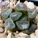 Eddy-Endah Store Haworthia maughanii Seed, only 1 piece, interesting lovely succulent plant seed