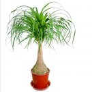 Eddy-Endah Store Ponytail Palm, Elephant's Foot seeds - Nolina recurvata DL437C 5 Seeds