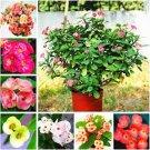 Eddy-Endah Store Euphorbia Milii Hybrid Middle 100 seeds Big Flowers Crown Of Thorns Seeds Graptopet