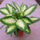 Eddy-Endah Store 100Pcs Rare Aglaonema spp Seeds High Humidity Easy Grow Office Desk Bonsai Air Fres