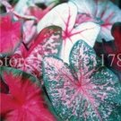 Eddy-Endah Store 100pcs Hot Sale Thailand Caladium Bicolor Seed Balcony Rare Burnt Rose Elephant Ear