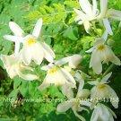 Eddy-Endah Store 10pcs Chinese Moringa seeds,Edible seeds,Home Garden Plant,outdoor garden food tree