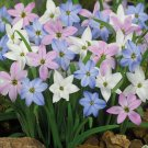 Eddy-Endah Store   Mix Rain Lily Flowering Seeds Beautiful Bright Colors Vigorous Garden 200+ Seed