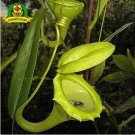Eddy-Endah Store Eating Mosquito Carnivorous Plants Nepenthes Seeds 200pcs/bag Tropical Pitcher Plan