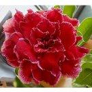 Eddy-Endah Store   Adenium Dark Red Petals with Thin Whitish Pink Edge Flower Seeds, 8-Layers Desert