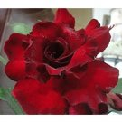 Eddy-Endah Store   Adenium Dark Red Desert Rose Seeds, 6-Layer Fragrant Perennial Bonsai Ornamental