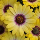 Eddy-Endah Store   'Blue-eyed Beauty' African Daisy Seeds Fantastic Annual Gerbera jamesonii Flowers