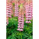 Eddy-Endah Store   15PCS Lupinus 20 Types of Lupine Perennial Flowers Seeds, Red Orange Yellow White