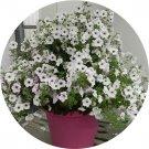 Eddy-Endah Store   Imported Beautiful Hanging Bonsai Petunia 200 Seeds T4